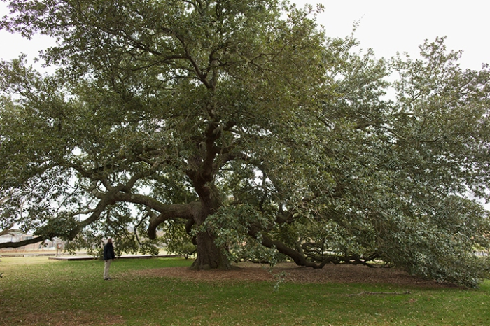 Emancipation Oak, Hampton University campus, January 1, 2013